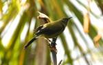 Bell Bird, male