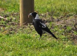 Black-backed Magpie
