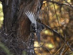 Fantail fanning