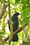 North Island Kokako