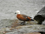 Paradise Shelduck, female