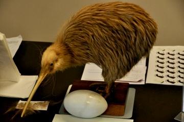 Stuffed Kiwi