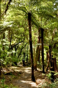 Path, Tree Ferns