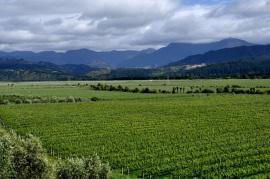 Marlborough Vines