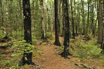 The trail in beech forest