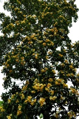 Yellow flower tree