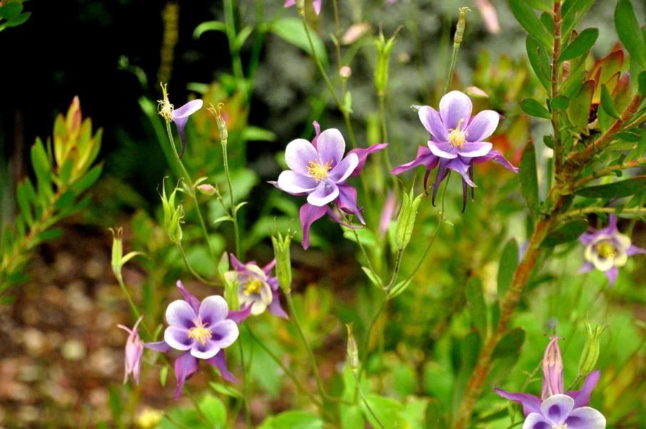 Columbine purple
