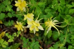 Columbine yellow