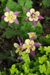 Columbine yellowpurple