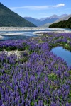 Flowing river, flowing lupine