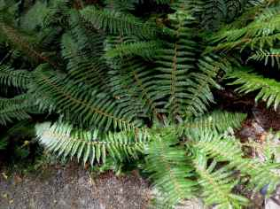 Prince of Wales fern