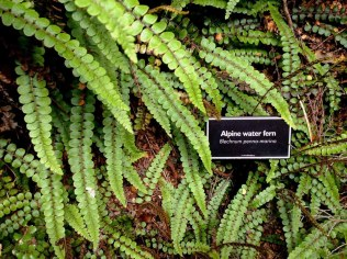 Alpine Water Fern