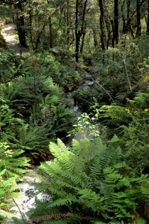 Forest path and ferns