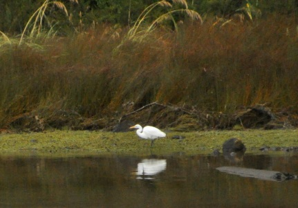 White heron fishing