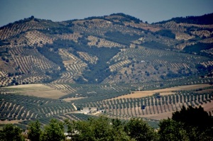 Hills of olive trees
