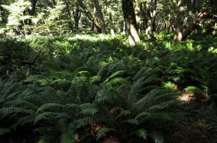 Fern understory on the Routeburn Trail