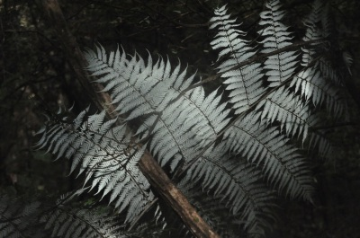 Silver fern, iconic symbol of New Zealand