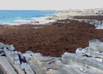 That mass of brown is seaweed