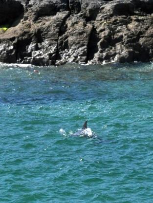 A dolphin waving at us