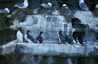 Guillemots nesting next to Kittiwake gulls