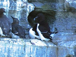 Two razorbills in the crowd