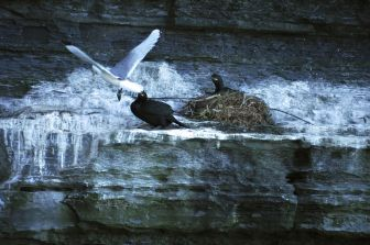 Unidentified birds defending their nest from a kittiwake