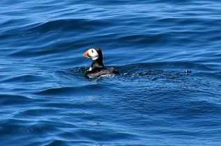 My best puffin picture