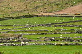 Stone fences and happy sheep
