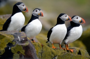 Puffins, what they really look like, from the internet