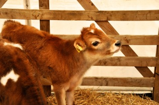 A cute and imminently pettable calf